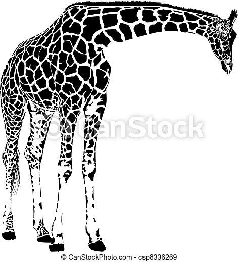 żyrafa, wektor - csp8336269