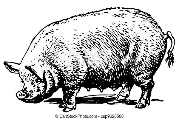 cielna, świnia - csp9626508