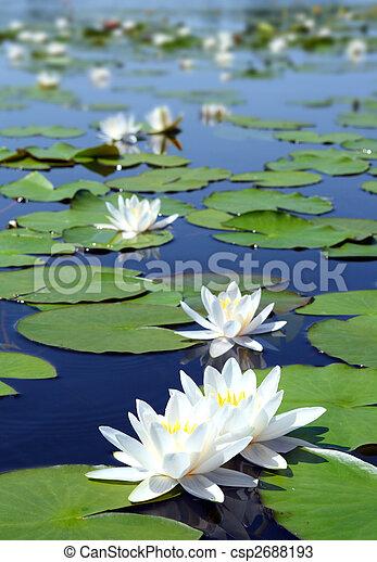 grzybień, lato, kwiaty, jezioro - csp2688193