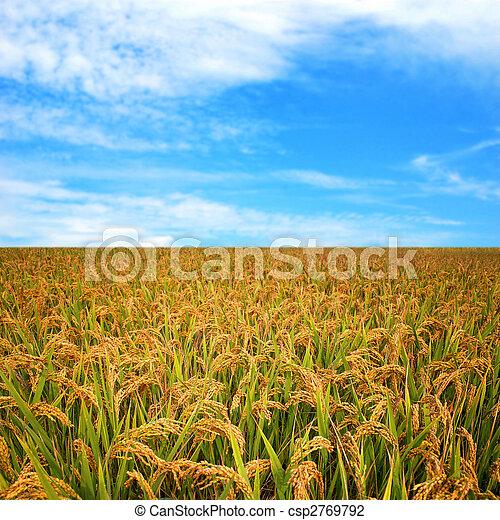 jesień, pole, ryż - csp2769792