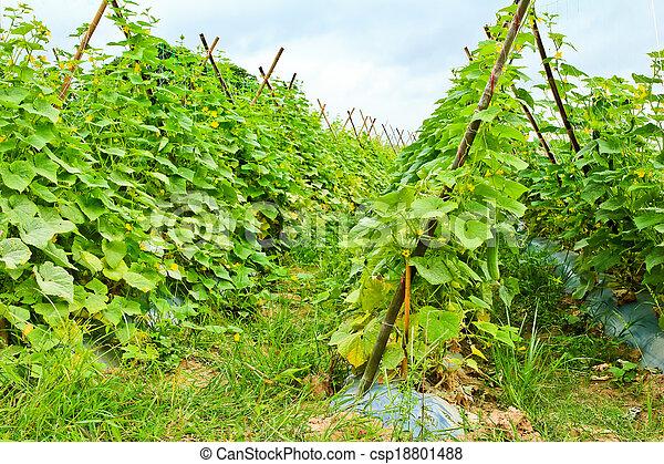 okolica, ogórek, roślina, thailand. - csp18801488