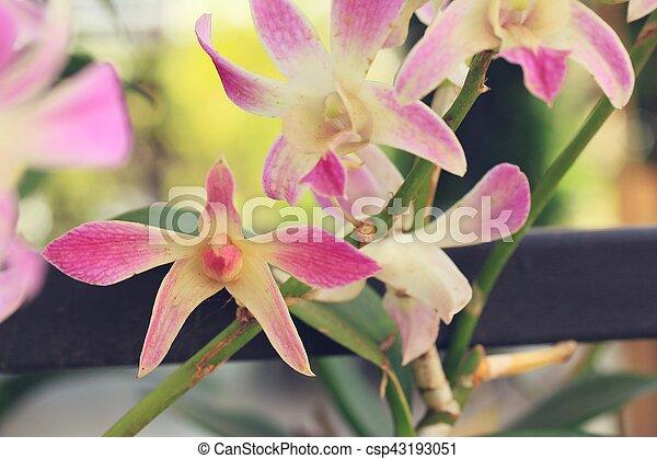 różowa orchidea - csp43193051