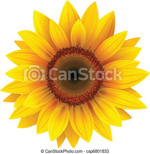 słonecznik - csp6801833
