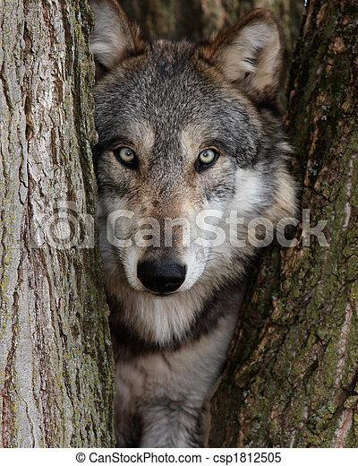 toczeń, wilk, szary, canis - csp1812505