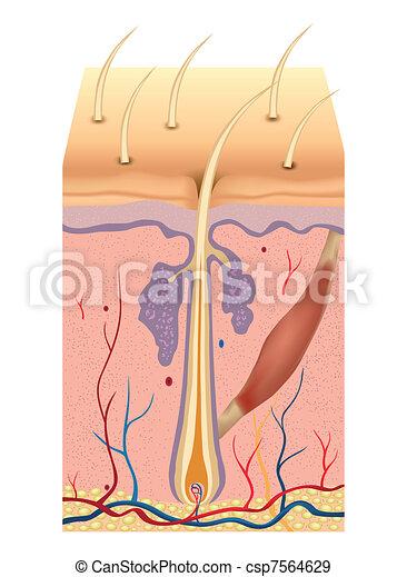 włosy, illustration., anatomia, wektor, ludzki, budowa - csp7564629